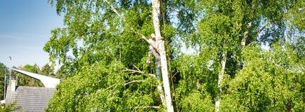 在桦树,从地面的30米的成熟男性树整理者上流,削减分支与靠气体发动的锯和附有与 免版税库存照片