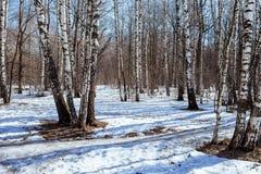 在桦树Grovet的春天 图库摄影