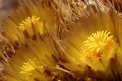 在桶式仙人掌的黄色绽放 库存图片