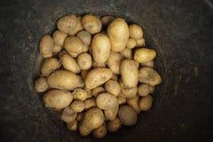 在桶的新近地被收获的土豆 库存图片