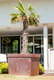 在桶的棕榈树 图库摄影