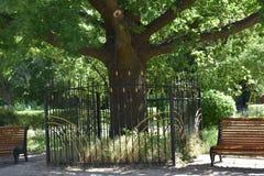 在梅利托波尔爱和卫兵老树 库存照片
