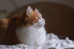 在梦想的红色猫 免版税图库摄影