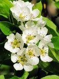 在梨分支的开花的花  库存照片