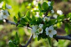 在梨分支的花在春天 库存照片