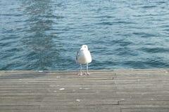 在梨的海鸥 图库摄影