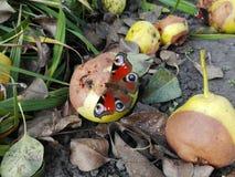 在梨的蝴蝶 免版税库存照片