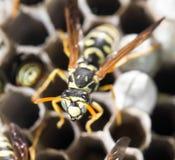 在梳子的黄蜂 图库摄影