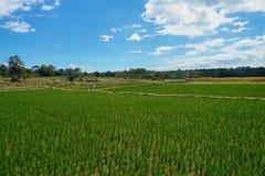 在棉兰印度尼西亚的稻田 免版税库存图片