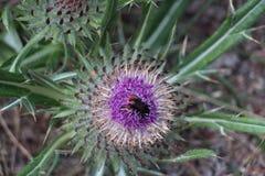 在棉花蓟的蜂 免版税库存照片