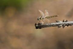 在棍子查出的蜻蜓 免版税库存照片