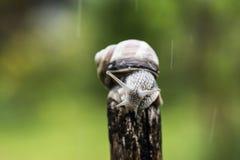 在棍子的上面的一只蜗牛 库存照片