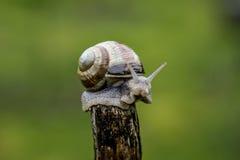 在棍子的上面的一只蜗牛 免版税库存图片