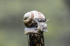 在棍子的上面的一只蜗牛 图库摄影