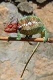 在棍子的变色蜥蜴,马达加斯加 免版税库存照片
