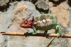 在棍子的变色蜥蜴,马达加斯加 库存照片