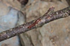 在棍子的昆虫 免版税图库摄影