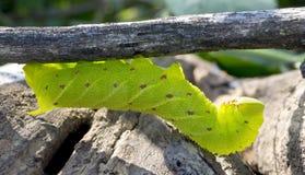 在棍子的绿色和棕色毛虫 免版税图库摄影
