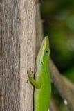 在棍子的蜥蜴 免版税库存图片
