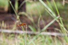 在棍子的蜻蜓 库存照片