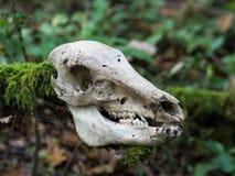 在棍子的鹿头骨在森林里 库存图片