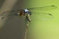 在棍子的蜻蜓 免版税库存照片