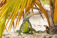 在棕榈叶下的滑稽的鬣鳞蜥在海滩 库存图片