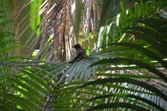 在棕榈叶栖息的黑热带鸟 免版税图库摄影