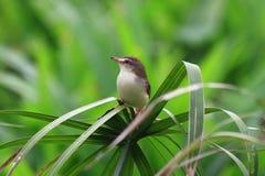 在棕榈叶的共同的长尾缝叶鸟 库存图片