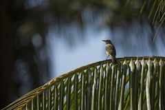 在棕榈叶的布朗有顶饰捕蝇器 免版税库存图片