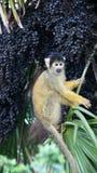 在棕榈果树的松鼠猴子在伦敦动物园里 库存照片