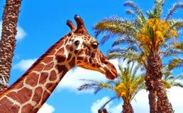 在棕榈树和蓝色背景的长颈鹿  免版税库存照片