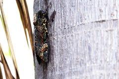 在棕榈树干栖息的大黑飞蛾 免版税库存图片