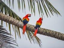 在棕榈树德雷克海湾视图的2只金刚鹦鹉鸟在哥斯达黎加附近 免版税库存图片