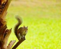 在棕榈树树干的灰鼠 库存照片