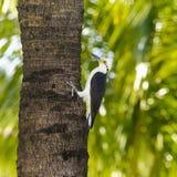 在棕榈树树干的白色啄木鸟 图库摄影