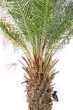 在棕榈树的一只乌鸦 免版税库存图片