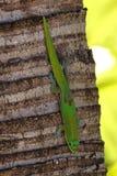在棕榈树的壁虎 库存照片