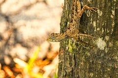 在棕榈树的小蜥蜴 库存图片
