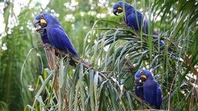 在棕榈树的少量风信花金刚鹦鹉吃油棕榈树果子  罕见的看法 优质录影 自然的声音 面包渣 潘塔纳尔湿地 股票视频