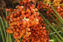 在棕榈树的日期 免版税库存图片