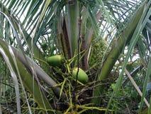 在棕榈树的椰子在南海滩,迈阿密 库存照片