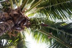 在棕榈树的椰子 库存照片
