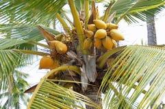 在棕榈树的椰子 免版税库存照片