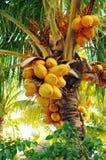 在棕榈树的椰子 免版税库存图片