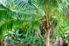 在棕榈树的椰子 库存图片