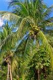 在棕榈树的绿色椰子 免版税图库摄影