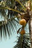 在棕榈树的醇厚的椰子 免版税库存照片
