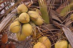 在棕榈树的黄色椰子 免版税库存照片