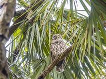 在棕榈树的Baard猫头鹰 库存照片